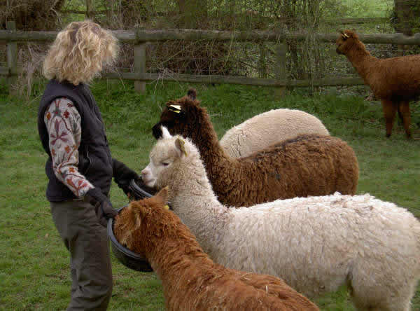 Friendly halter trained alpacas at Spring Farm in East Sussex