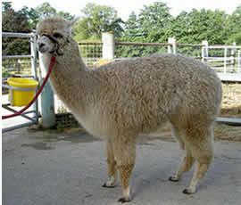 Figaro before shearing