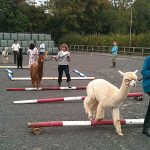 Halter Training Alpacas