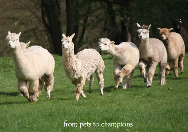 The most friendly herd of alpacas for sale in sussex, surrey or kent