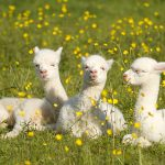 newborn huacaya alpaca crias in East Sussex