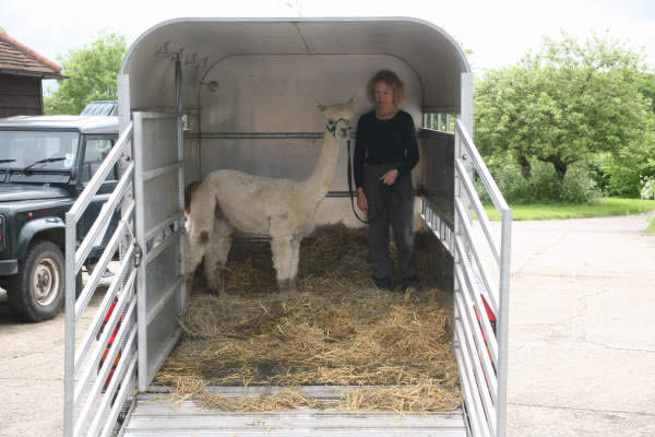 Mobile Alpaca Stud Services - convenient for Sussex, Surrey, Essex and Kent