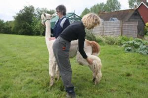 Your hand nearest the alpaca should rest on its back. While supporting with this hand, your right hand should move slowly but firmly down the leg until it is just above the front of the hock. The hand on the alpaca's back should gently push the alpaca's weight onto the other foot, while lifting the hind leg up as stated, just above the front of the hock