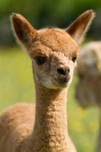 Lulu - the first baby alpacas born at Spring Farm in 2011