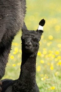 Baby alpacas in Sussex