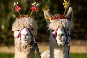 Christmas alpacas in Sussex