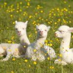 Cute baby alpacas available for sale