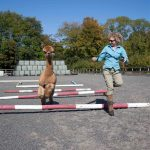 halter trained frindly alpacas in sussex