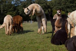 Super friendly alpacas for sale
