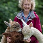 Male, female alpacas for sale