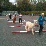 open day at Spring Farm Alpacas