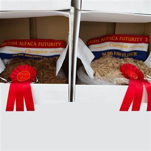Image of award winning huacaya and suri alpaca fibre, awarded by British Alpaca Futurity