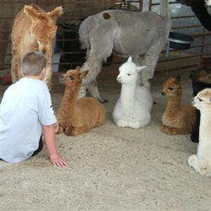 Discover Alpacas at Spring Farm in Sussex