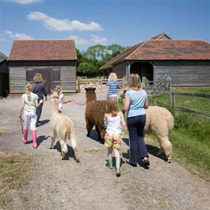 Walk alpacas at Spring Farm in Sussex
