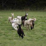 Baby alpacas racing