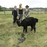 helping female alpaca to give birth
