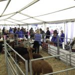 Alpacas at the Edenbridge and Oxted Show