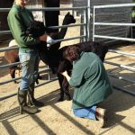 Osteopathic treatment for alpacas in the UK