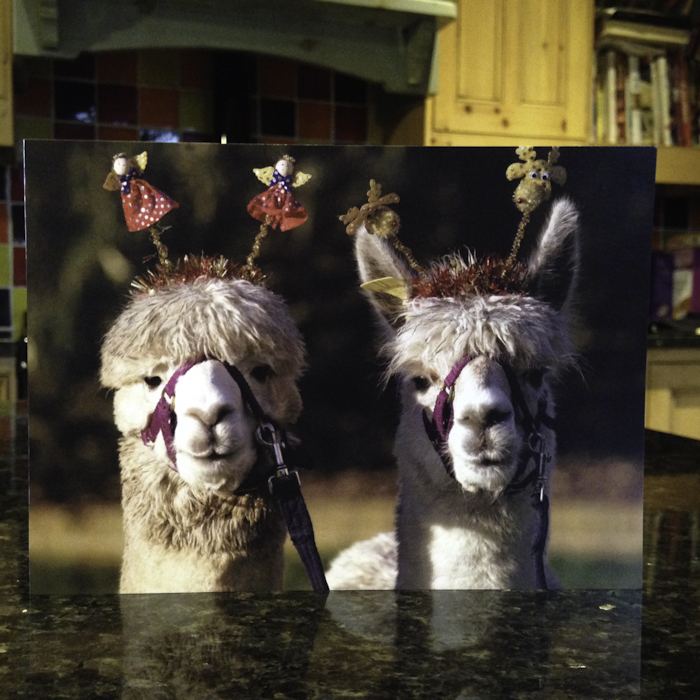 Alpaca Christmas Cards!! - Spring Farm Alpacas