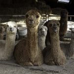 Female alpacas with cria for sale at Spring farm Alpacas