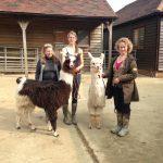 Llamas in Sussex