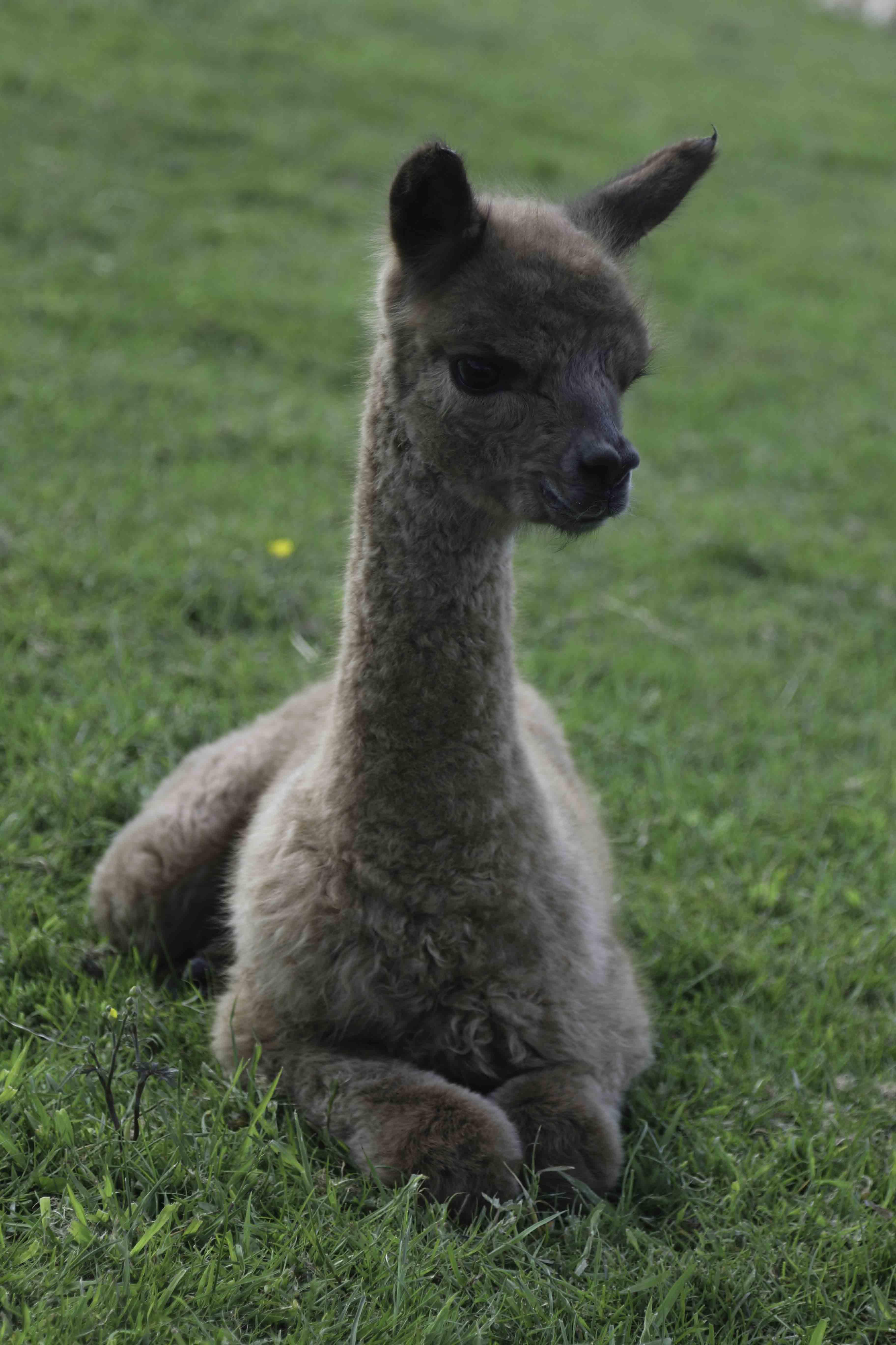 alpaca cria - class of 2015 expands