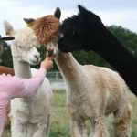 Alpacas at south of england showgroud