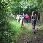 Alpaca walking in green lane in Sussex