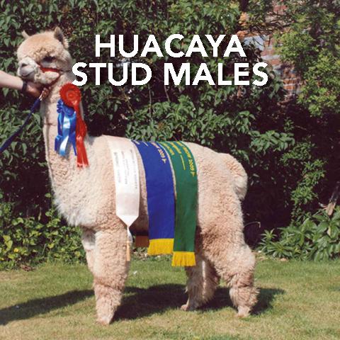 Springfarm Alpacas - Huacaya Stud Males