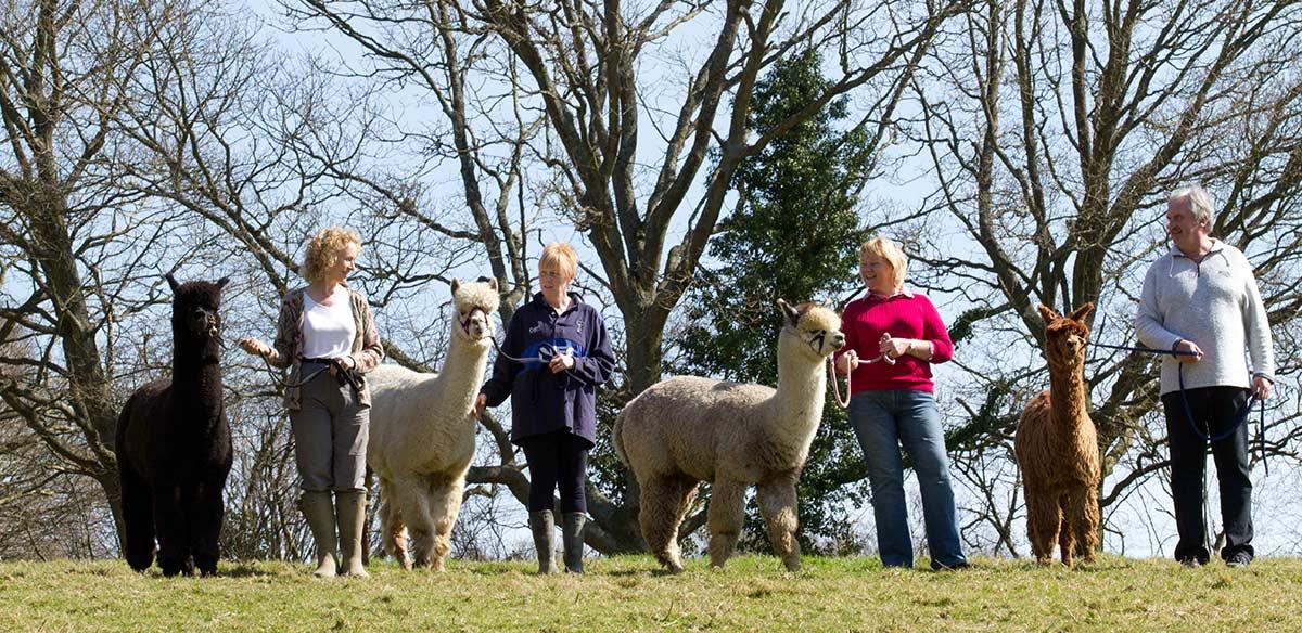 springfarm_alpacas5