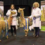 Show winning Suri Stud alpacas