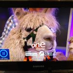 Llama at The One Show (and an alpaca).