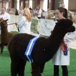 Phoenix takes reserve champion black male