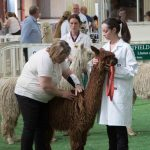 Springfarm Saffron goes on to take Champion brown suri female
