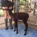 alpaca hernia belt