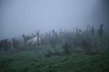 Alpacas in the mist!