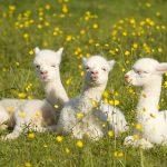 newborn huacaya alpaca crias in East Sussex