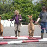 Halter training for alpacas in Sussex