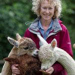 Alpaca handling on open day