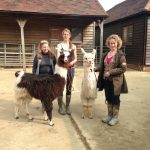 Llamas in Sussex