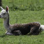 Rose grey alpaca cria