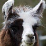 Meet farmer's llamas at alpaca walking with spring farm alpacas