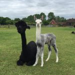 3new alpaca babies (cria) this bank holiday weekend! This is Lyra's cria.