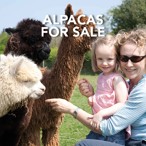 Springfarm Alpacas - Alpacas for sale