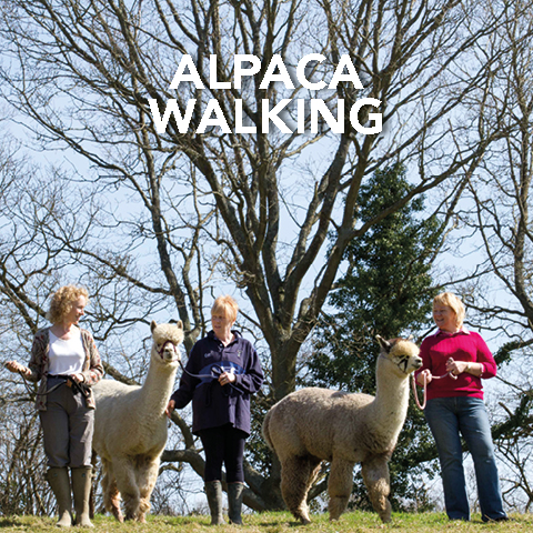 Springfarm Alpacas - Alpaca Walking