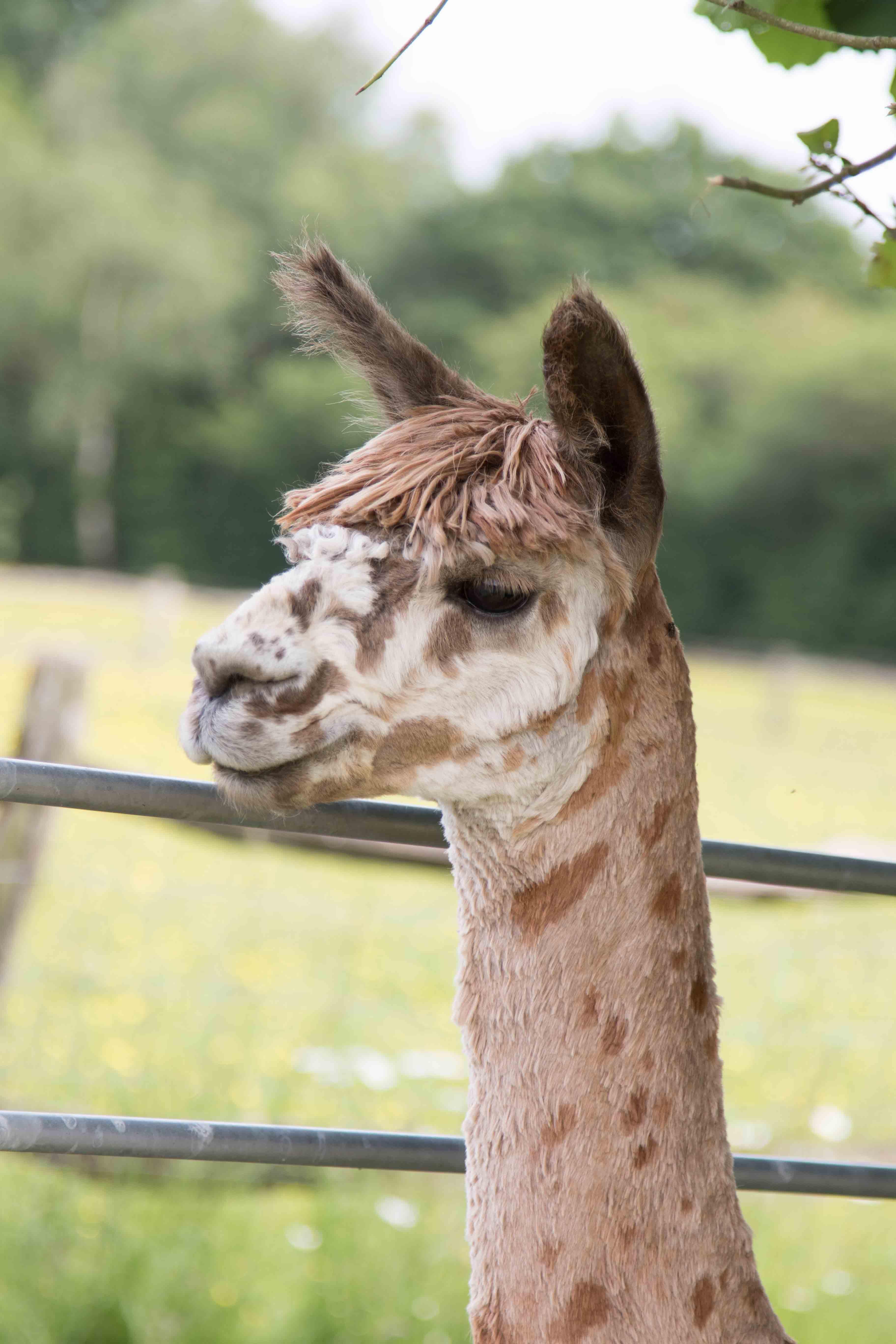 Lensky - appaloosa suri alpaca