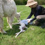Alpaca birthing