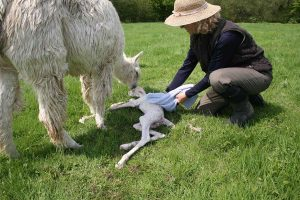 1.55pm Drying off the cria – we always use a clean towel, because the scent of another cria could confuse the mother.