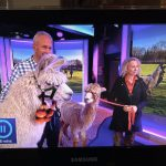 Lloama and alpaca on the BBC One Show