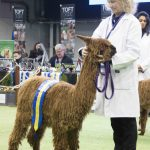Springfarm Saffron reserve champion brown suri at the BAS National 2018